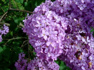 Lilac-flowers1