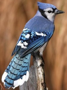Blue Jay Medicine ~ Proper use of Personal Power